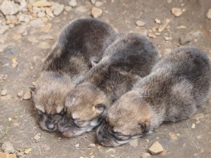 Puppies! 3 Mexican wolves born here | Endangered Wolf Center