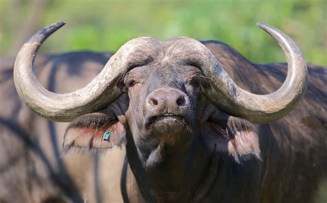 This is the R4 million buffalo Cyril Ramaphosa just sold